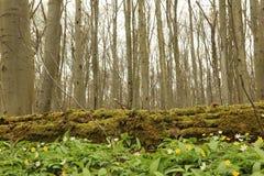 Hainich国家公园,山毛榉森林保护,德国 库存图片