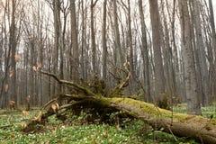 Hainich国家公园,山毛榉森林保护,德国 免版税库存图片