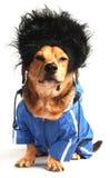 Hair. A dog have long black hair Stock Photography