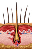 Hair Anatomy. Medical concept as a close up of a human follicle symbol on skin vector illustration