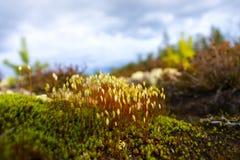 Hair cap moss in Scandinavian forest Stock Photo