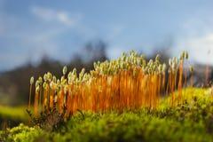 Hair cap moss in Scandinavian forest Royalty Free Stock Photos