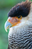 Hair caracara falcon Royalty Free Stock Photography