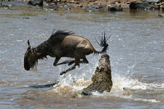 On a hair from death. Crossing through the river Mara.The antelope has undergone to an attack of a crocodile Stock Photos