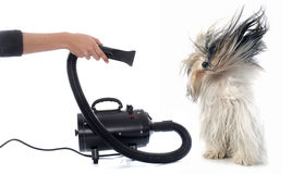 Hair dryer for dog Stock Image