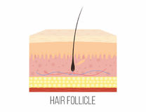 Hair follicle. Human skin layers with hair follicle inside Stock Images