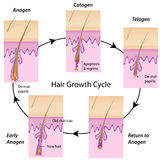 Hair growth cycle. The cycle of hair growth in human with anagen, catagen and telogen phases, explaining the basis of hair loss and hair removal Royalty Free Stock Images