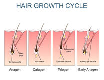 Hair growth cycle labelled illustration Stock Photography