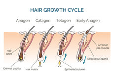 Hair growth cycle Royalty Free Stock Photos