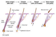 Hair growth cycle Stock Image