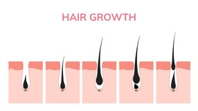 Hair growth cycle skin. Follicle anatomy anagen phase, hair growth diagram illustration.  royalty free illustration