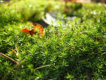 Hair Moss (Polytrichum) in the morning Royalty Free Stock Photo