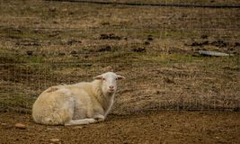 Hair sheep in pen in Boise Idaho Royalty Free Stock Images
