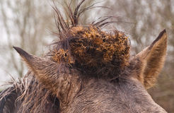 Hair whorl of a Konik horse Royalty Free Stock Photography