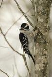 Hair woodpecker Royalty Free Stock Photo