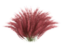 Hairawn_muhly_(Muhlenberga_capillaris) Royalty Free Stock Image