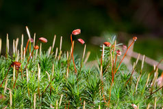Free Haircap Moss Stock Image - 88998781