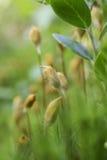 Haircap moss polytrichum Stock Photo