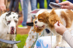 Haircut dogs professional master Royalty Free Stock Image