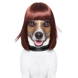 Hairdresser dog Royalty Free Stock Photos
