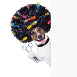 Hairdresser   dog. Hairdresser  scissors  dog beside white banner with hair rollers Royalty Free Stock Image