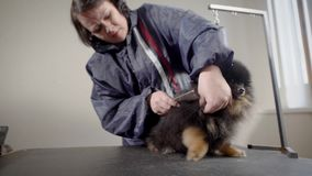 Aged female groomer with pet. Hairdresser of dogs making work in light cabinet with small dark puppy with tongue out stock video