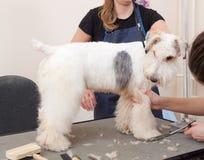 Hairdresser mows coat fox terrier on the paw Stock Photo