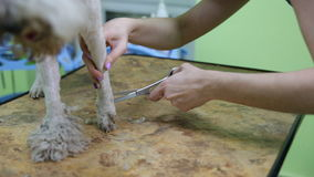 Hairdresser mows coat fox terrier on the paw stock video footage