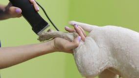 Hairdresser mows coat fox terrier on the paw stock video