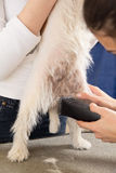 Hairdresser mows Jack Russell Terrier fur Royalty Free Stock Photo
