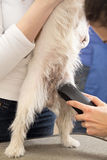 Hairdresser mows Jack Russell Terrier fur Royalty Free Stock Photography