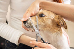 Hairdresser mows Jack Russell Terrier fur Stock Photo