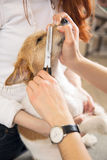 Hairdresser mows Jack Russell Terrier fur Royalty Free Stock Photos