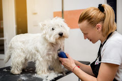 Hairdresser mows West Highland White Terrier fur on the ear with a trimmer. Grooming West Highland White Terrier professional hairdresser. Hairdresser mows royalty free stock image