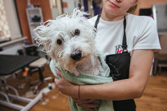 Hairdresser mows West Highland White Terrier fur on the ear with a trimmer Royalty Free Stock Photography