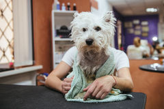 Hairdresser mows West Highland White Terrier fur on the ear with a trimmer Stock Photo