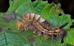 Haired caterpillar 4 Royalty Free Stock Images
