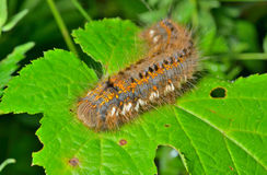 Haired caterpillar 5 Royalty Free Stock Image