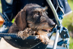 Haired dachshund dog sleeping in a baby carriage stock photography