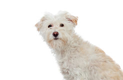 Haired dog Royalty Free Stock Photo