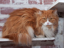 Haired fluffy cat Royalty Free Stock Photography