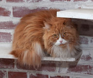 Haired fluffy cat Stock Images