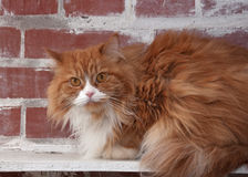 Haired fluffy cat on brick wall Royalty Free Stock Images
