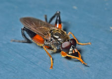 Haired fly  Royalty Free Stock Photos