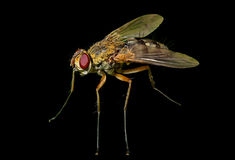 Haired fly 11 Royalty Free Stock Photos