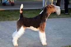 Haired Fox-terrier van de draad Stock Afbeeldingen