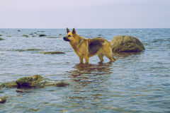 Haired german shepherd dog. 2016 stock image