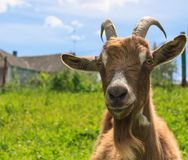 Haired goat on the farm close up Stock Photography
