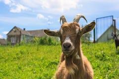 Haired goat on the farm Stock Photos