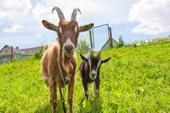 Haired goat with kid Royalty Free Stock Photo